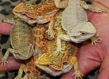 Picture for category Other Reptiles